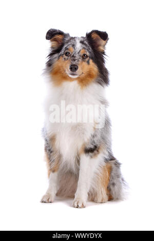 Shetland Sheepdog, Sheltie dog isolated on a white background - Stock Photo