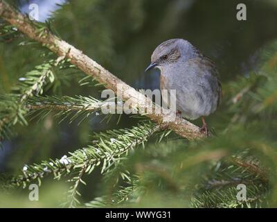 hedge sparrow - Stock Photo