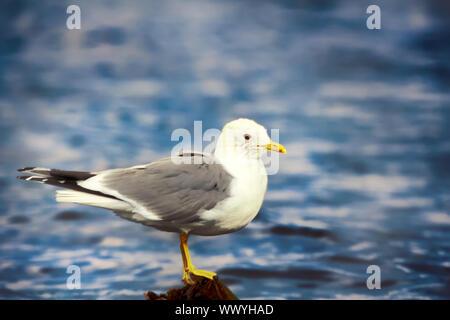 Common gull (Larus canus, adult) - Stock Photo