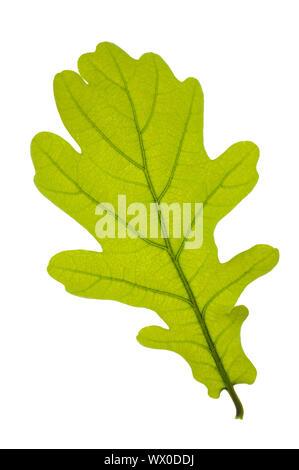 single leaf of oak tree isolated over white background - Stock Photo