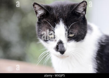Poor skinny cat with asymmetrical black-and-white coloring - Stock Photo