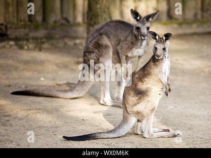 Eastern Gray Giant-Kangaroo (Macropus giganteus), Zoo, Krefeld, Germany, Europe - Stock Photo