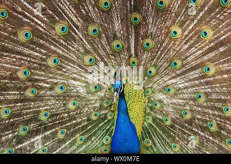 Common peafowl, Indian peafowl, blue peafowl (Pavo cristatus), male spreading tail feathers - Stock Photo
