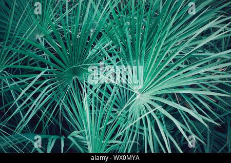 Closeup of a palmetto serenoa leaves. Electric green background - Stock Photo