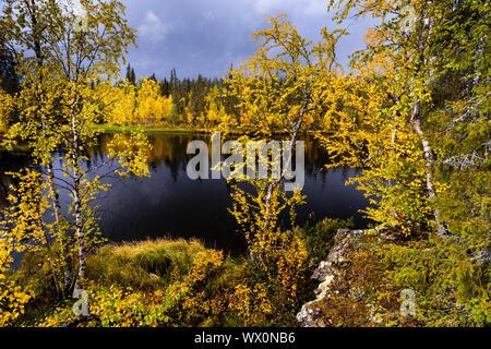 Silver birch (Betula pendula) in autumn colour, Muonio, Lapland, Finland, Europe - Stock Photo