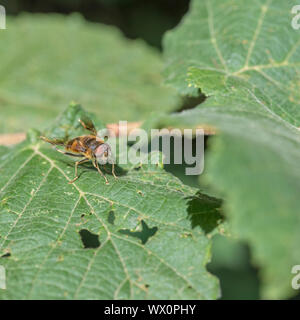 UK Hoverfly on leaf. Thought to be a Male Eristalis pertinax - the European hoverfly - rather than the Common Drone Fly / Eristalis tenax. - Stock Photo