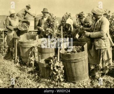 """Wine harvest near Baden bei Wien, Lower Austria, c1935. Grapes for wine-making are gathered in wooden tubs. From """"Österreich - Land Und Volk"""", (Austria, Land and People). [R. Lechner (Wilhelm Müller), Vienna, c1935] - Stock Photo"""