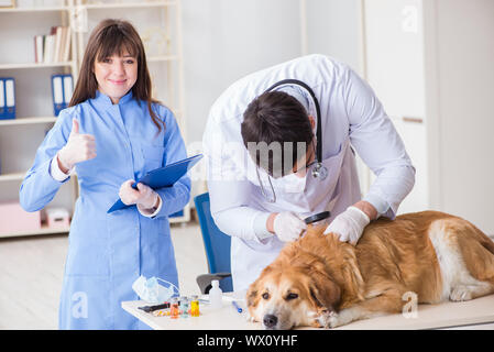 Doctor and assistant checking up golden retriever dog in vet cli - Stock Photo
