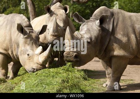 white rhinoceros, square-lipped rhinoceros, grass rhinoceros (Ceratotherium simum), feeding in a zoo - Stock Photo