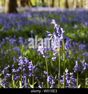 Atlantic bluebell (Hyacinthoides non-scripta), forest of blue flowers, Hueckelhoven, Germany, Europe - Stock Photo