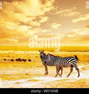 African safari, zebras family and landscape of Amboseli National Park, Kenya, wild animals grazing on dry field grass over orange sunset, adventure, t - Stock Photo