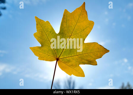 Autumn foliage against a shining sun and the blue sky - Stock Photo