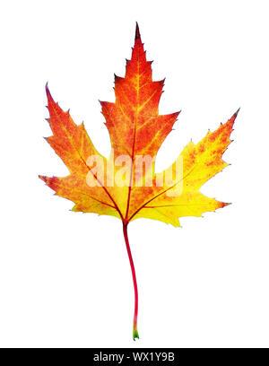Perfect Autumn Leaf Over White - Stock Photo