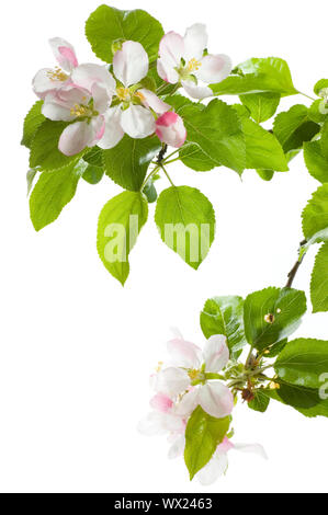 Apple Blossom Isolated Over White - Stock Photo