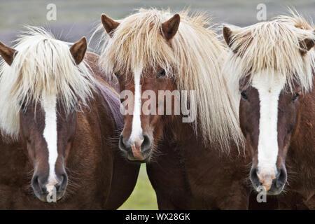 Islandic horse (Equus ferus caballus), three Icelandic horses standing togeher, portrait, Iceland - Stock Photo