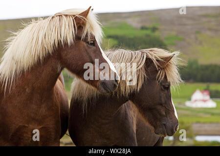 Islandic horse (Equus ferus caballus), two Icelandic horses standing togeher, portrait, Iceland - Stock Photo