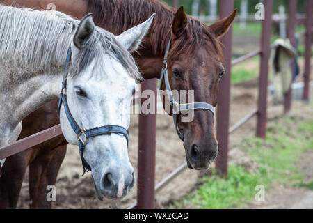 Two Horses In The Stall - Stock Photo
