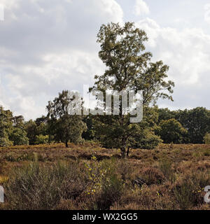 common birch (Betula pendula) in heathland, nature reserve Wahner Heide, Troisdorf, Germany, Europe - Stock Photo