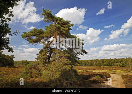 Scotch pine (Pinus sylvestris) in heathland, nature reserve Wahner Heide, Troisdorf, Germany, Europe - Stock Photo