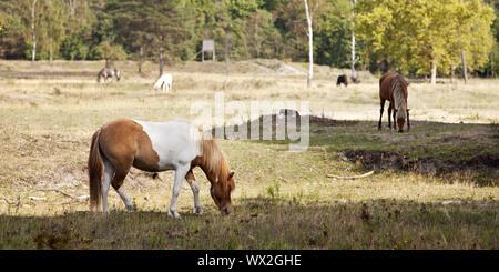 Islandic horse (Equus ferus caballus), nature reserve Wahner heath, Troisdorf, Germany, Europe - Stock Photo