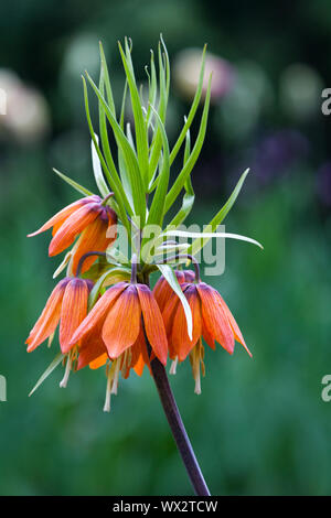 Inflorescence of red Lily - Stock Photo