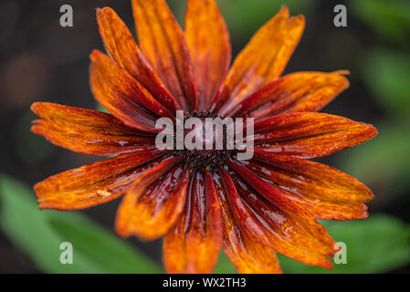 Red and yellow Rudbeckia hirta or Black Yeyed Susan flower in the nature - Stock Photo