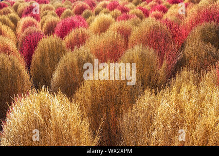 Kochia scoparia autumn - Stock Photo
