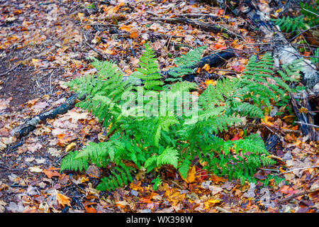 Fern plant nestled among the fall leaves on the forest floor. - Stock Photo