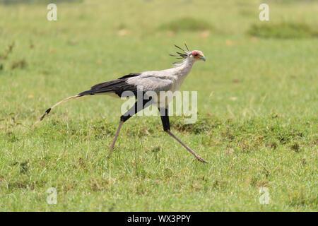 Secretary bird, Sagittarius serpentarius, Masai Mara National Reserve, Kenya, Africa - Stock Photo