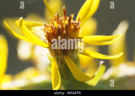 tiny yellow flower with stamens full of pollen - Stock Photo