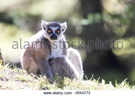 Ring-tailed Lemur (Lemur catta) catching morning sun - Stock Photo
