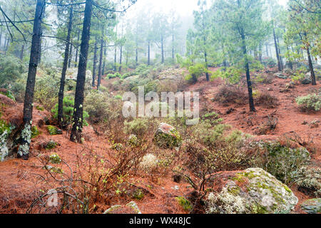 Nature lanscape of foggy pine forest - Stock Photo