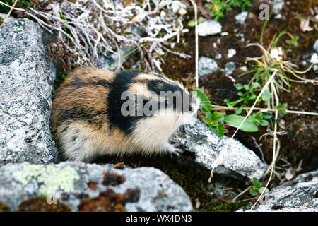 Norwegian lemming (Lemmus lemmus) hiding among the rocks - Stock Photo