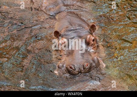 Hippo in water. Common hippopotamus (Hippopotamus amphibius) - Stock Photo