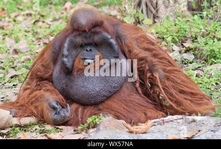 Big male orangutan - Stock Photo