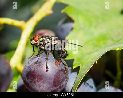Graue Fleischfliege, Aasfliege (Sarcophaga carnaria) auf dunkler Traube, Weinbeere in Steinen SZ - Stock Photo