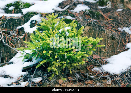 Undergrowth of coniferous trees in winter - Stock Photo