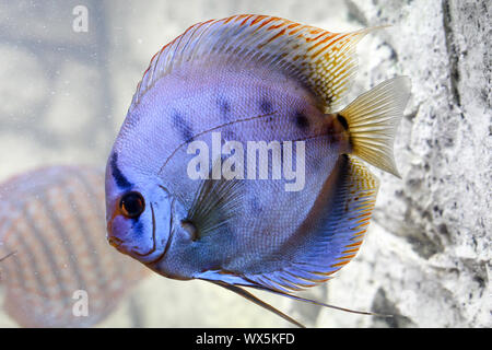 portrait of a discus fish - Stock Photo