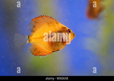 Portrait of a discus fish baby - Stock Photo
