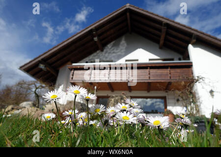 Spring in the garden - daisies (Bellis perennis) in front of a family house - Stock Photo
