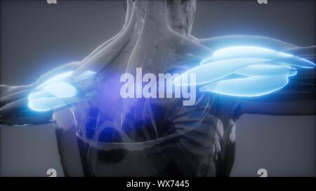 deltoid - Visible muscle anatomy map - Stock Photo