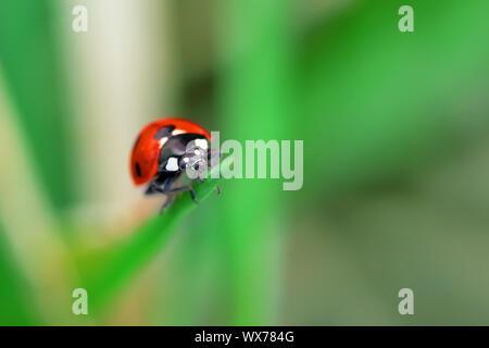 Ladybug sitting on a green flower leaf - Stock Photo