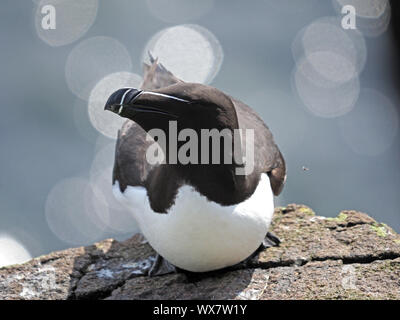 Razorbill or Lesser Auk (Alca torda) perched on clifftop rock on Isle of May, Firth of Forth, Fife, Scotland, UK - Stock Photo