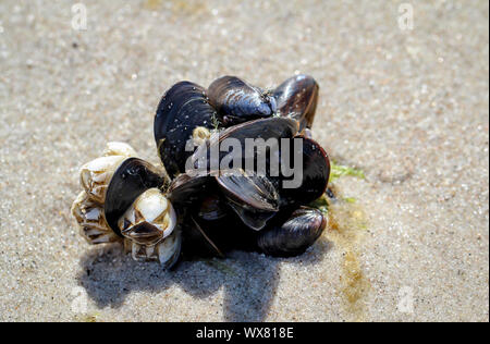 Mussels, barnacles on the beach - Stock Photo