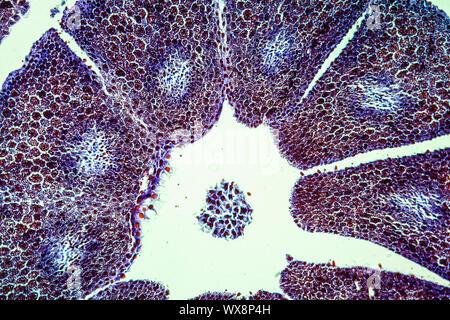 Pine embryo with endosperm across 100x - Stock Photo