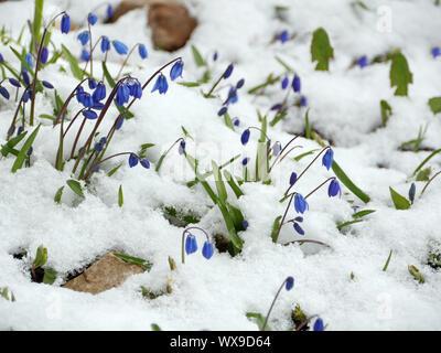 Scilla blue flowers - Stock Photo
