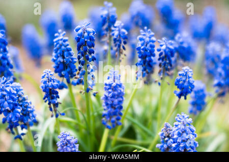dreamy close up view of blue grape hyacinth or muscari flowers - Stock Photo
