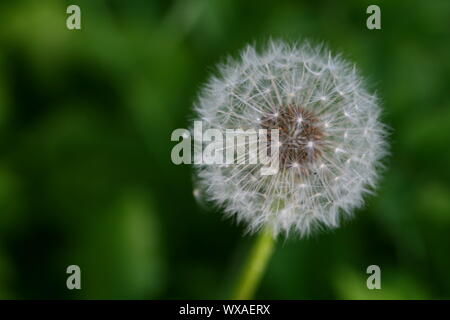 spring wish dandelion macro close up - Stock Photo