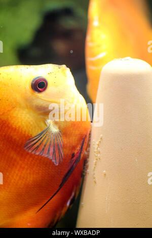 Colorful discus fish in the aquarium - Stock Photo