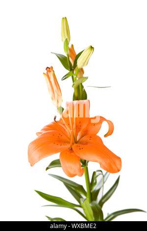 One Orange lily flower isolated on white - Stock Photo